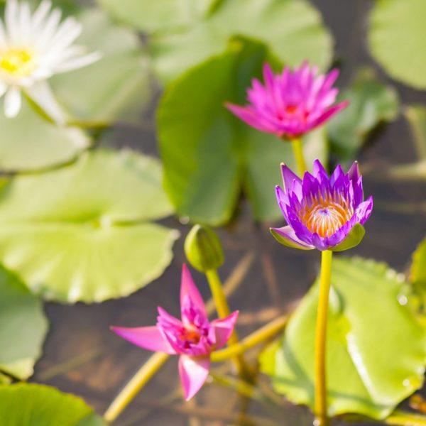 Beautiful Waterlily Or Lotus Flower